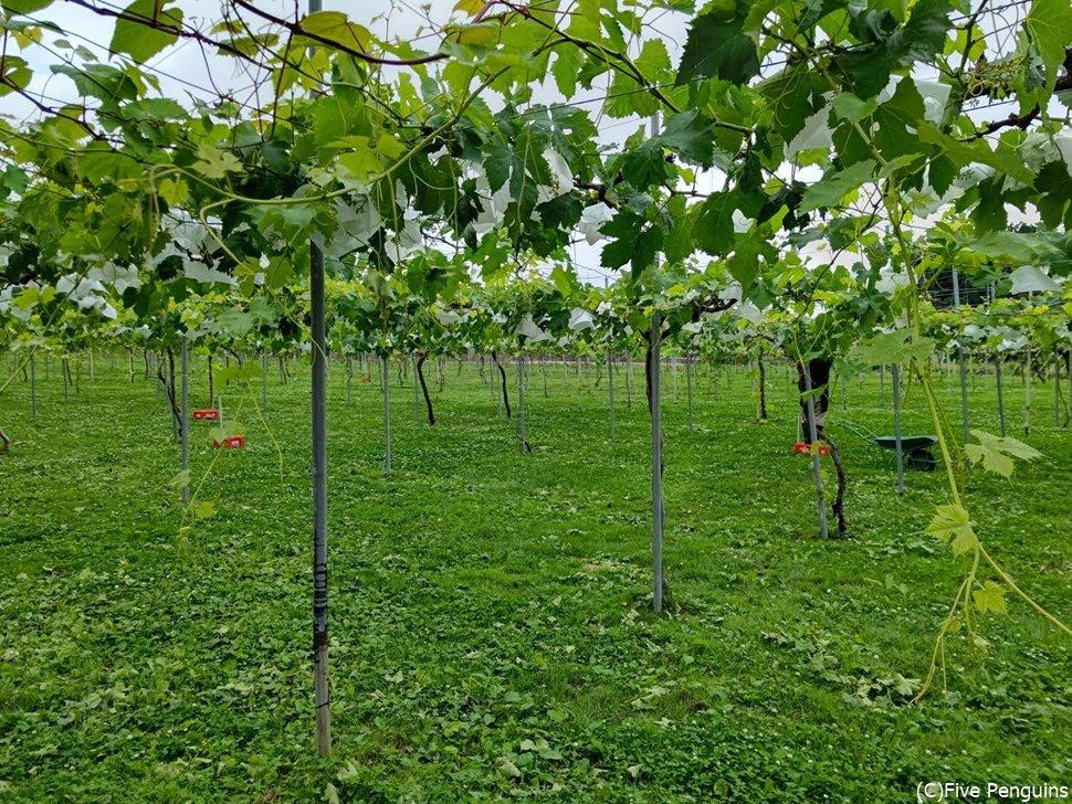 アルバリーニョの他ケルナー、ナイアガラなど多数栽培